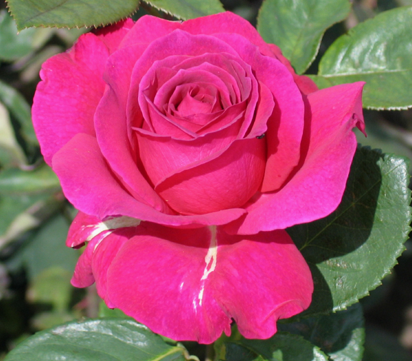 роза спрей ланком описание фото